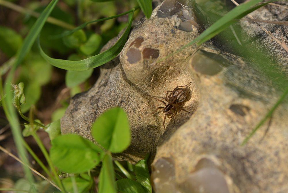 Araignée portant des oeufs