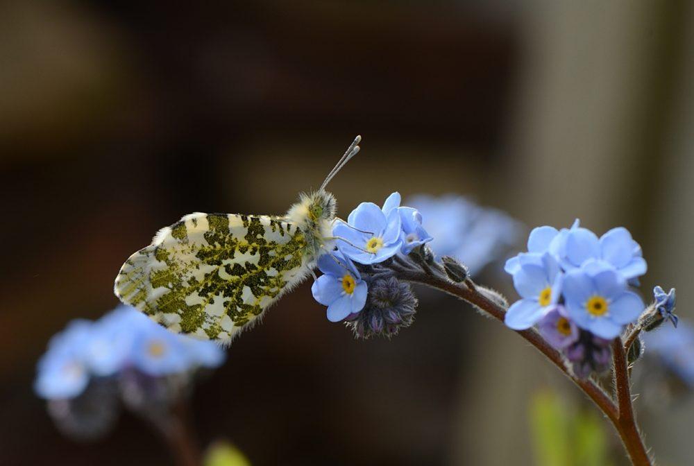 Papillon Aurore butinant des Myosotis