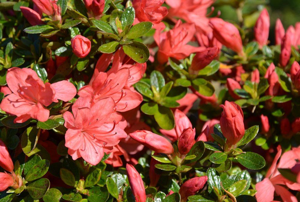 Floraison d'Azalée