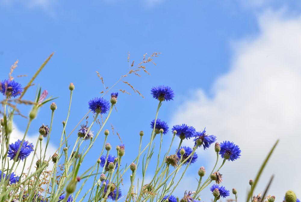 Bluets et ciel