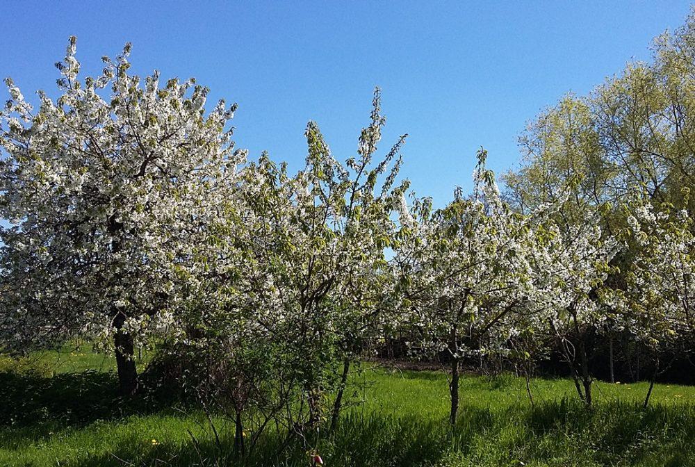 Floraison de cerisiers