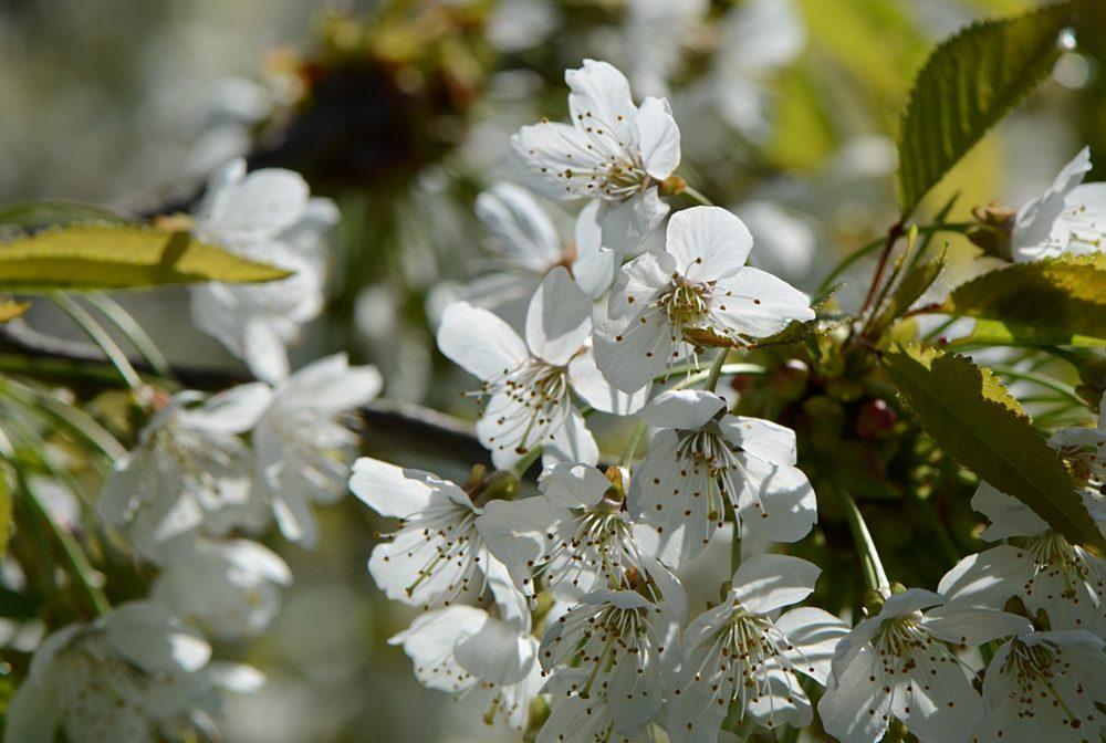 Les fruitiers sont en fleurs