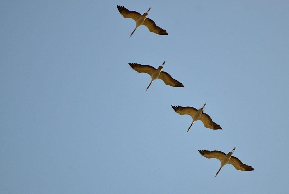 Le Grues cendrées volent au dessus du gîte pour annoncer le printemps