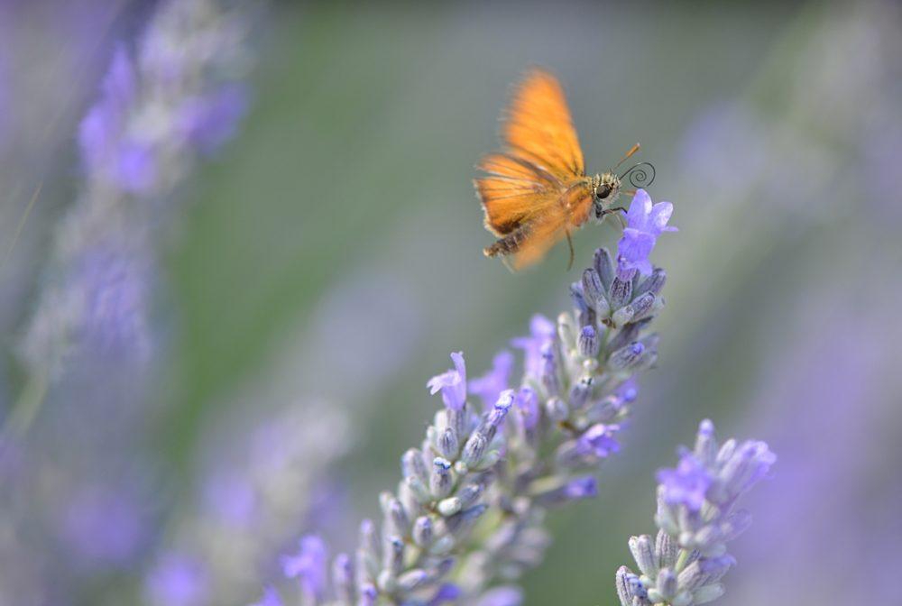 Papillon Hespéride sur fleurs de lavande