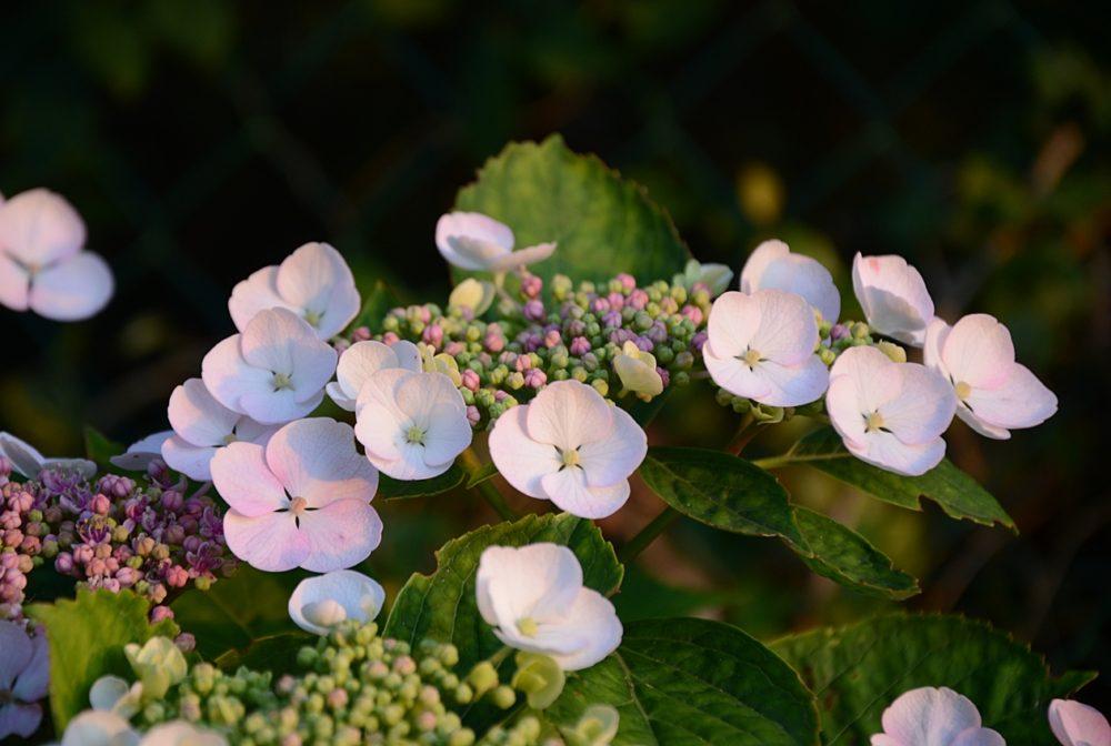 Fleurs d'Hydrangea