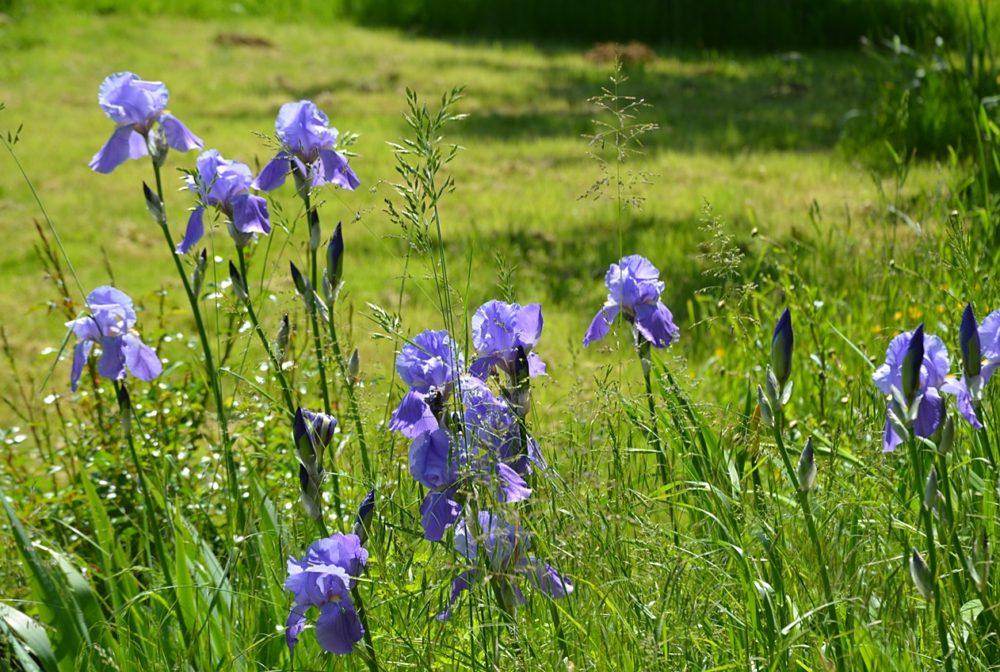 Les Iris illuminent le jardin