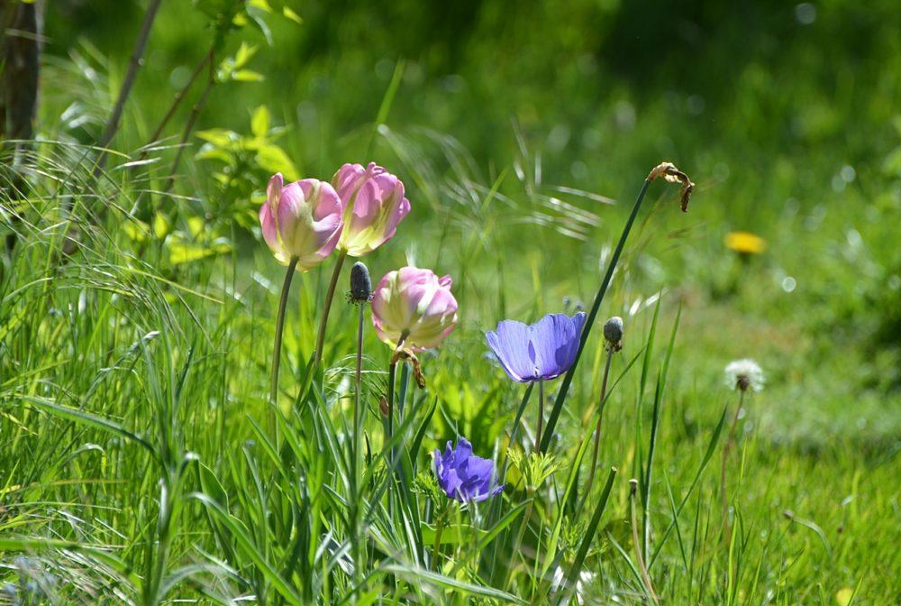 Anémones et tulipes