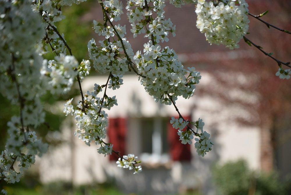 cerisiers en fleurs on aperçoit le gîte par transparence entre les branches