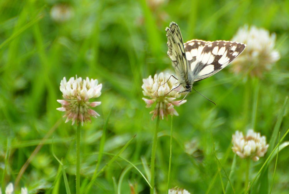 papillon sur fleur de trèfle blanc